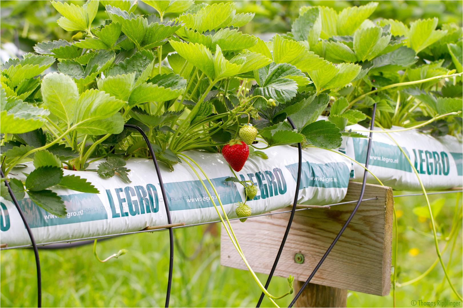 erdbeeren aus dem hochbeet foto bild pflanzen pilze flechten bl ten. Black Bedroom Furniture Sets. Home Design Ideas