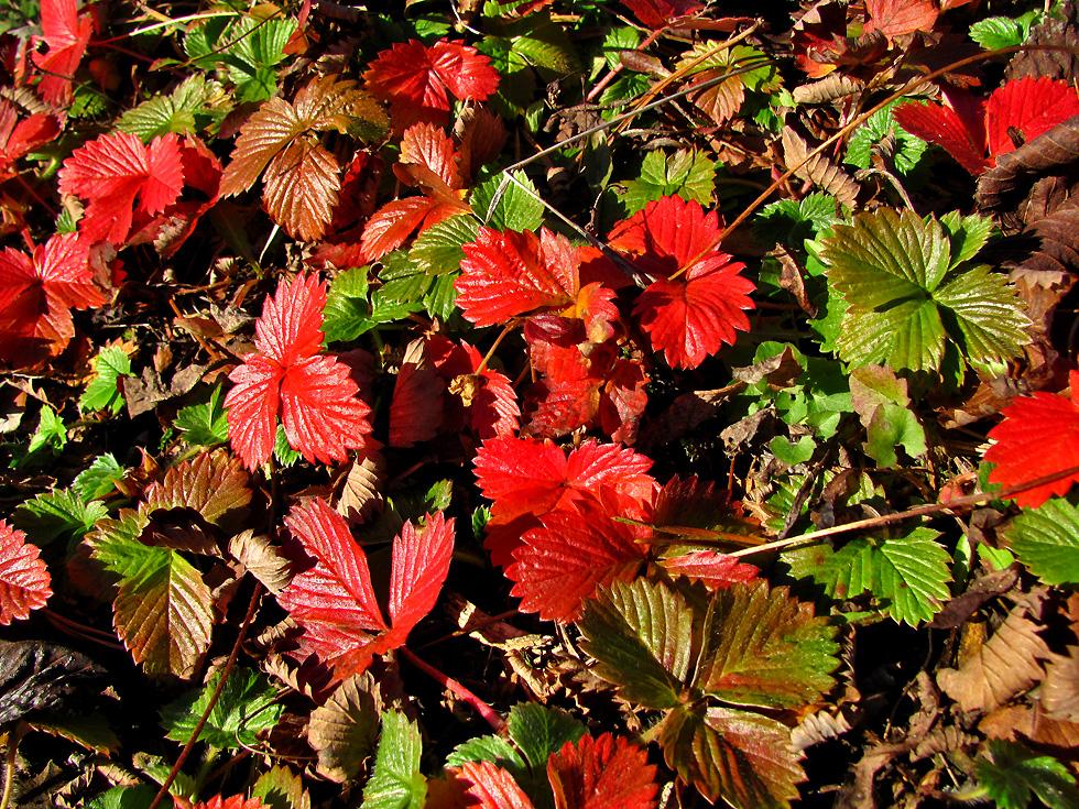 Erdbeeren im Herbst