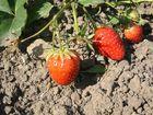 Erdbeeren in glühender Hitze