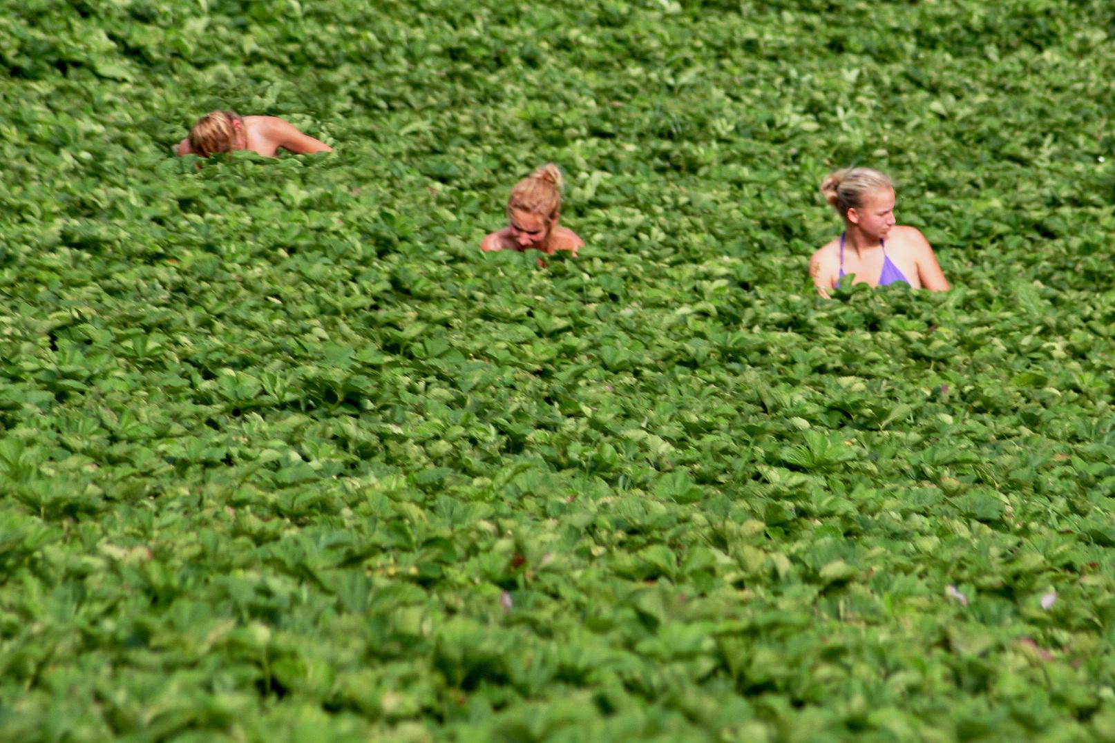 Erdbeerpflückerinnen im Martelltal