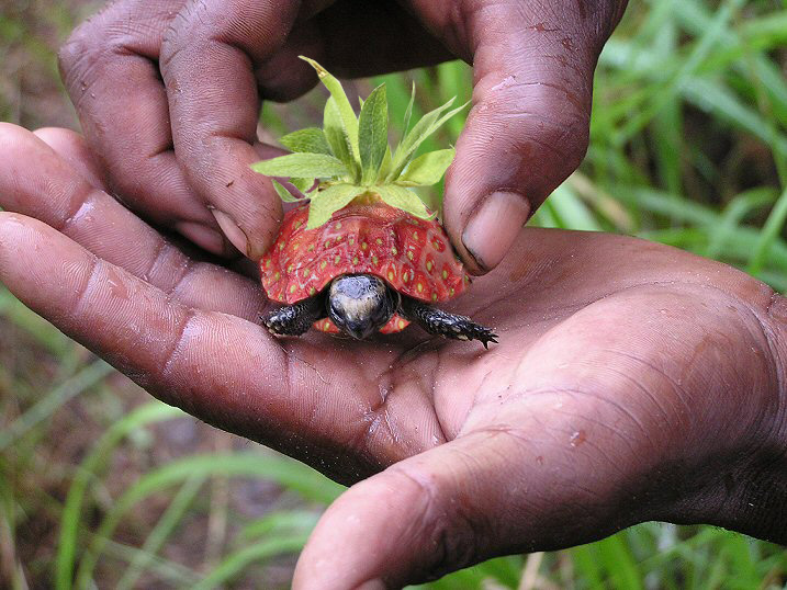 Erdbeerschildkröte