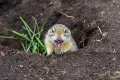 Erdhörnchen, Alberta, Kanada