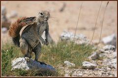 Erdhörnchen im Etoscha
