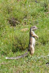Erdhörnchen in -Südafrika