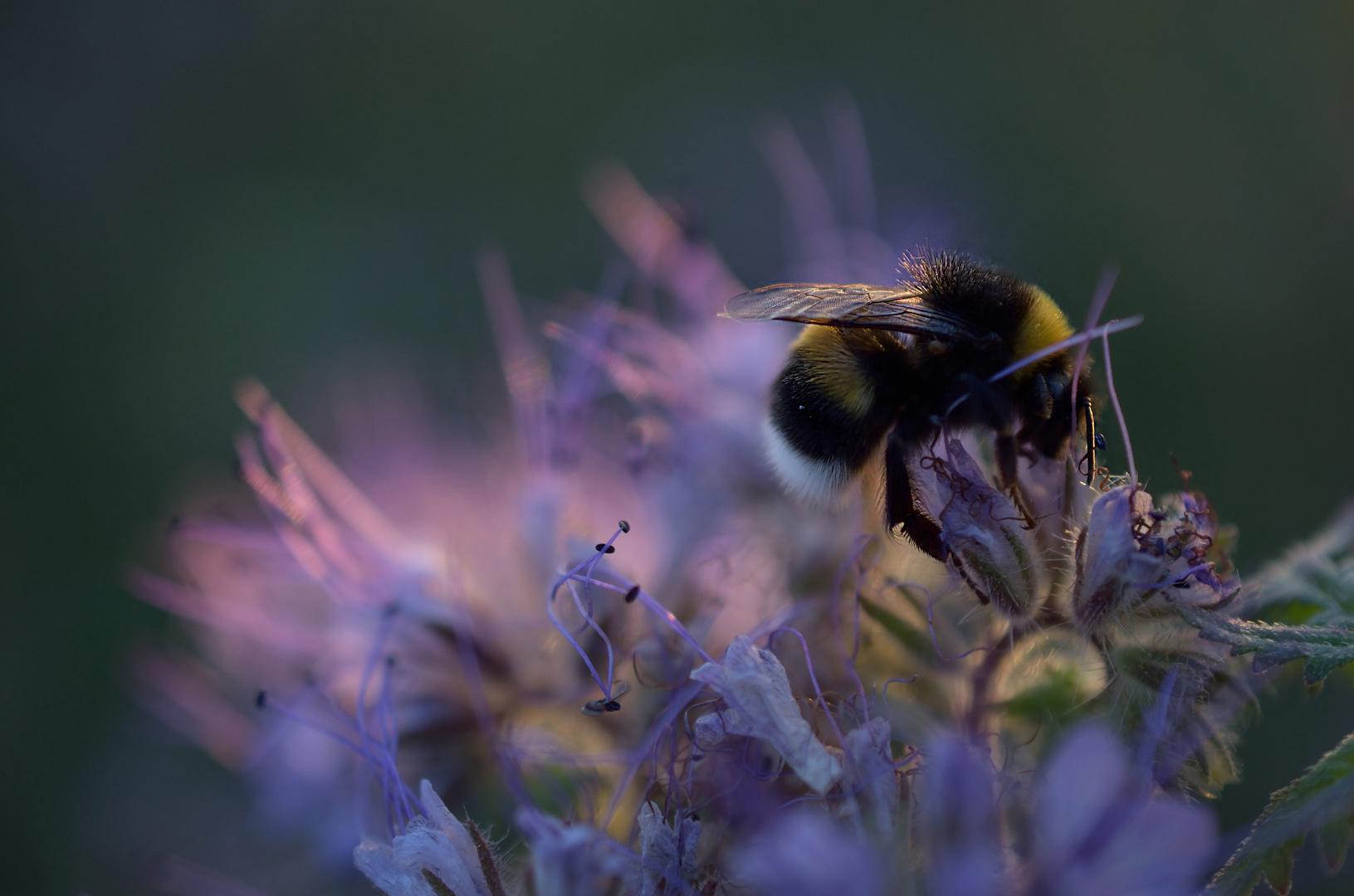 Erdhummel & Bienenfreund