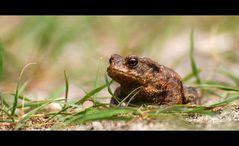 Erdkröte (Bufo bufo-Komplex)