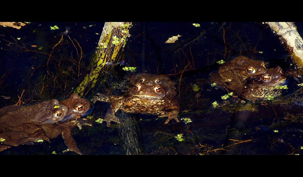 Erdkrötenpärchen (Bufo bufo-Komplex)