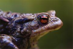 Erdkrötenportrait