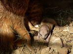 Erdmännchen -Baby