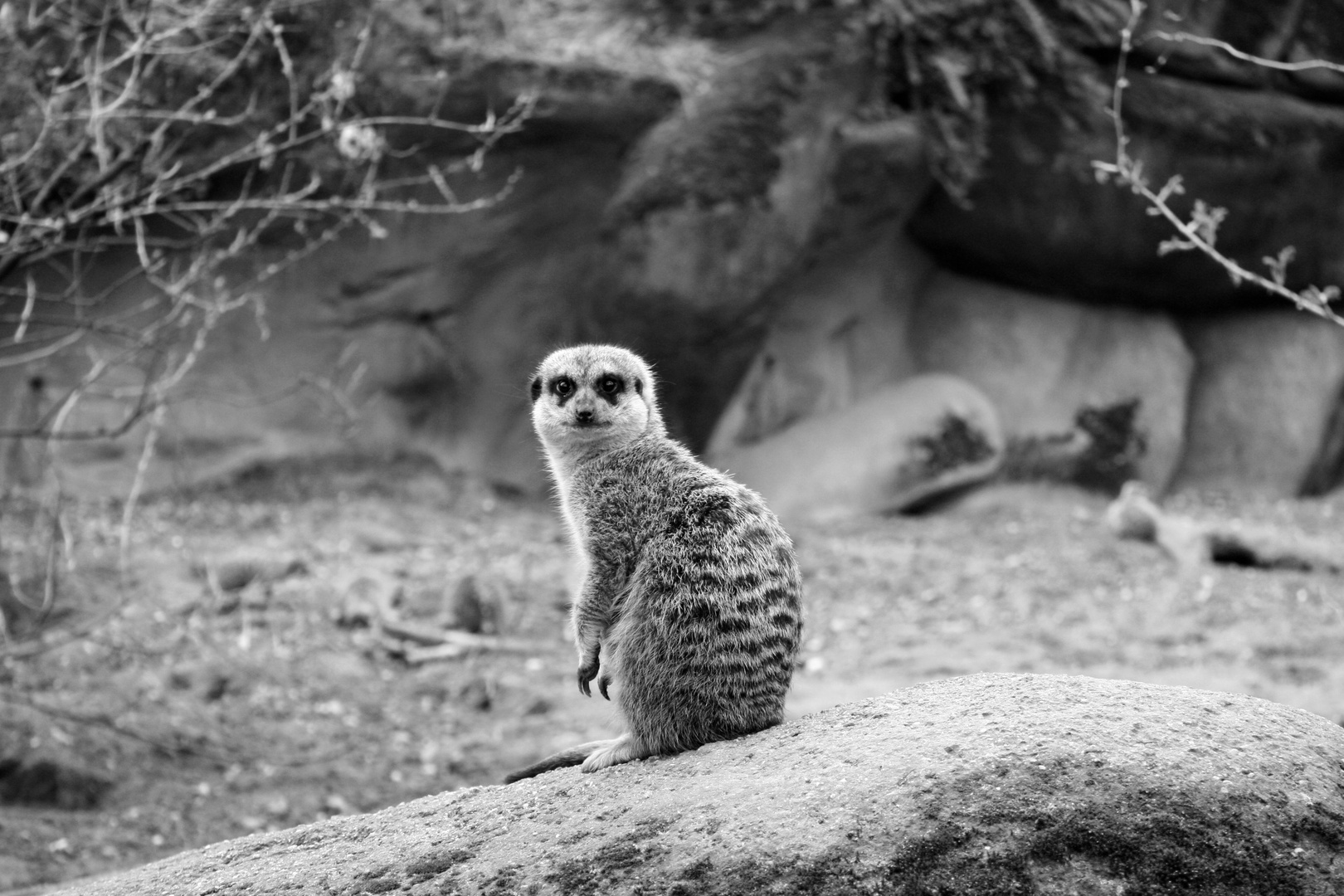 Erdmännchen - Burgers Zoo, Arnhem