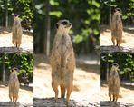 Erdmännchen im Kölner Zoo auf Beobachtungsposten (3)