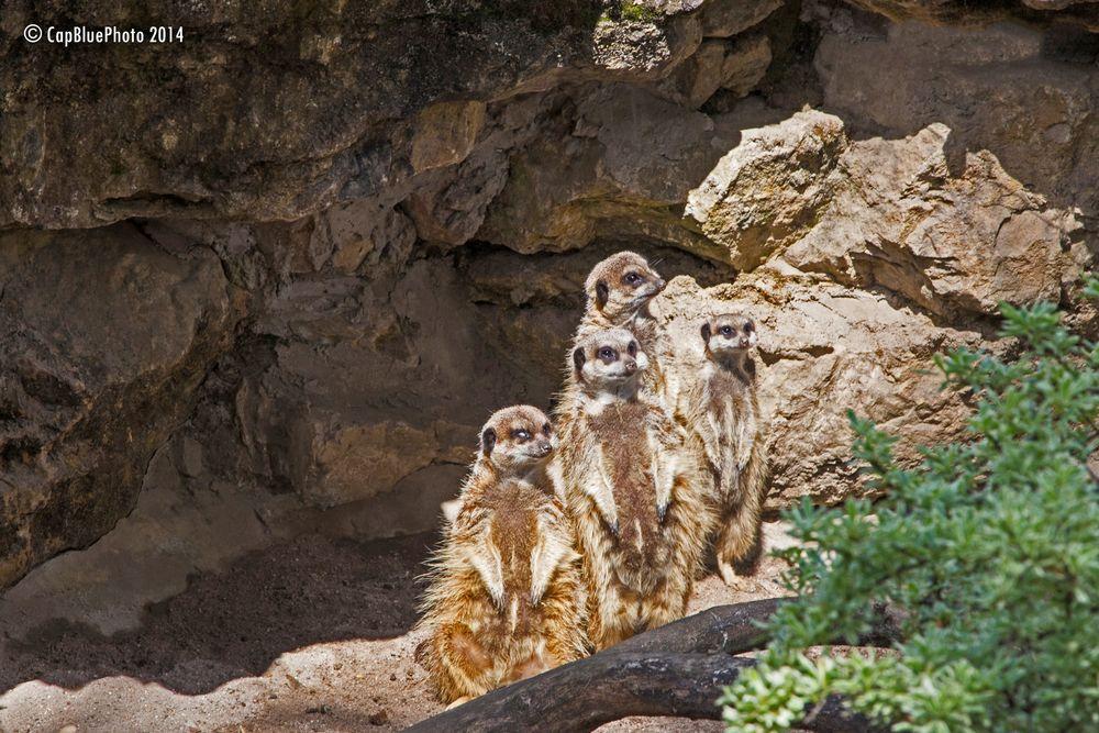 Erdmännchen im Landauer Zoo
