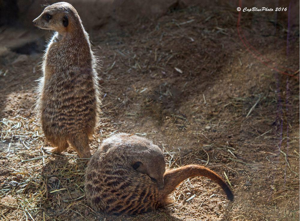 Erdmännchen im Reptilium Landau
