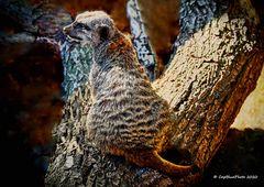 Erdmännchen im  Wormser Tierpark