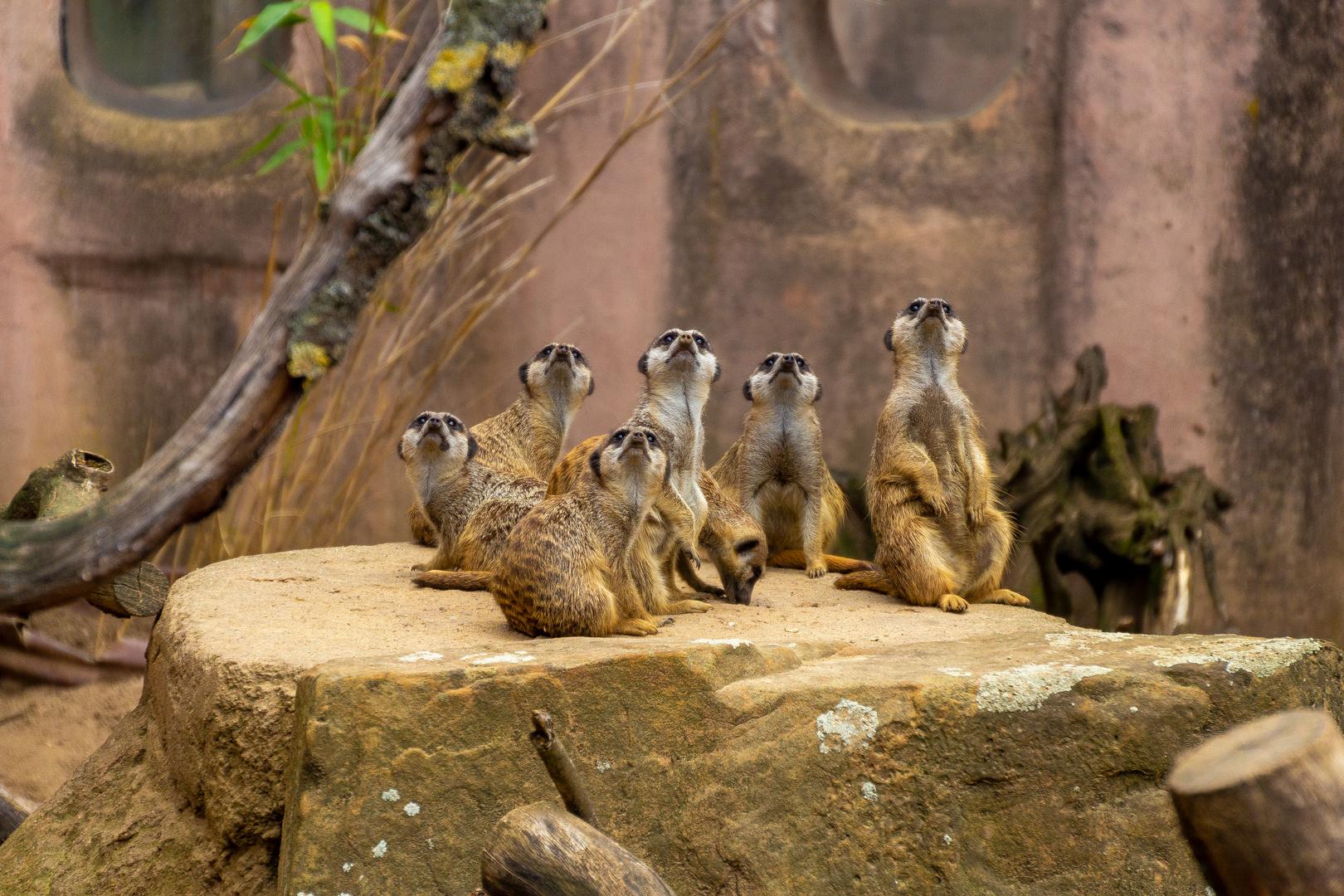 Erdmännchen im Zoo Hannover