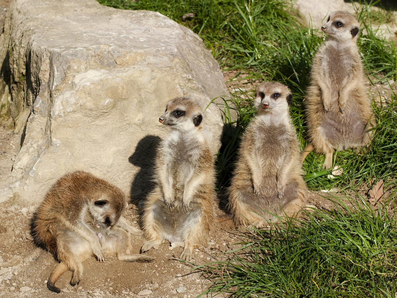 Erdmännchen Quartett