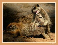 Erdmännchen (Suricata suricatta) RELOAD