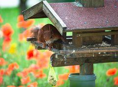 Erdnüsse im Vogelfutter
