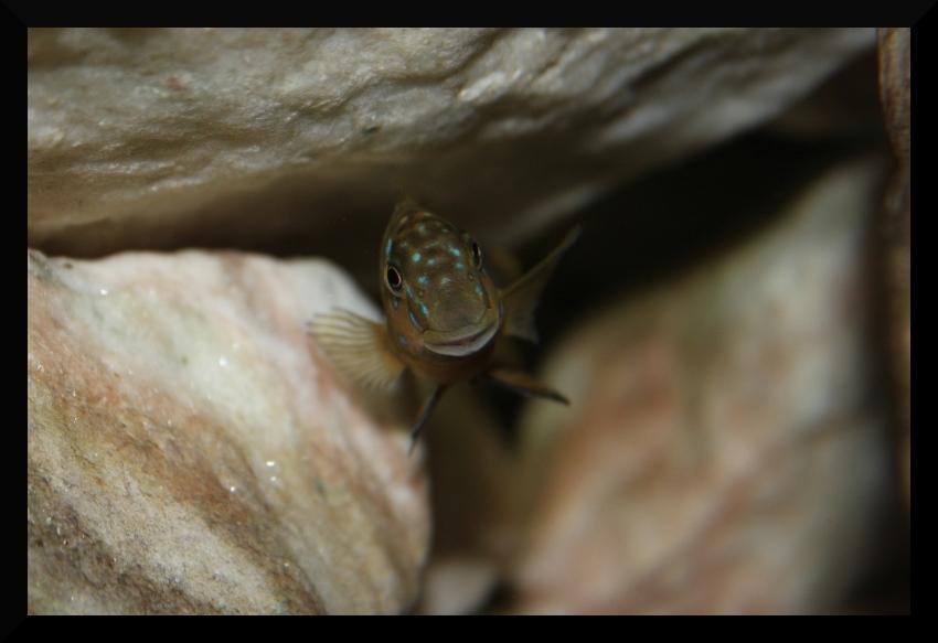 Eretmodus cyanostictus Mbimbwe