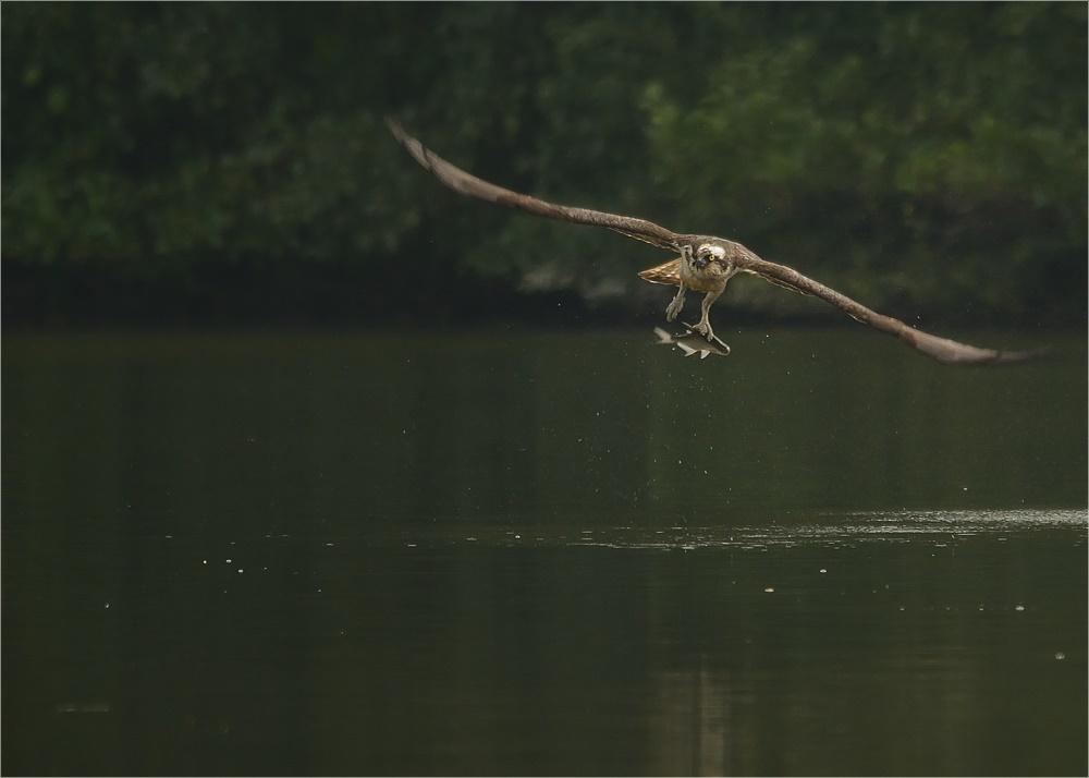 Erfolgreich - Der Fischadler