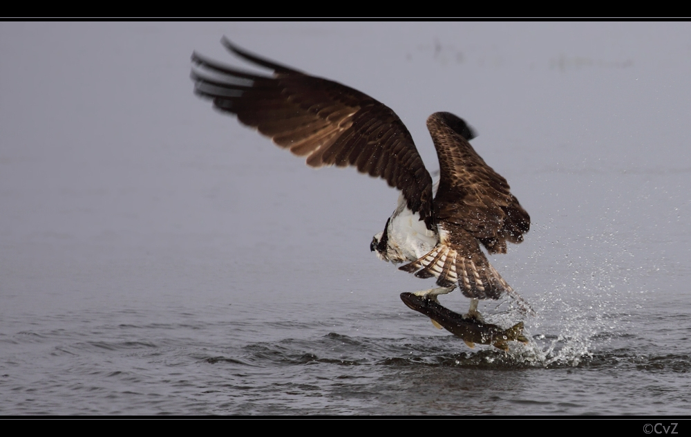 erfolgreicher Fischadler