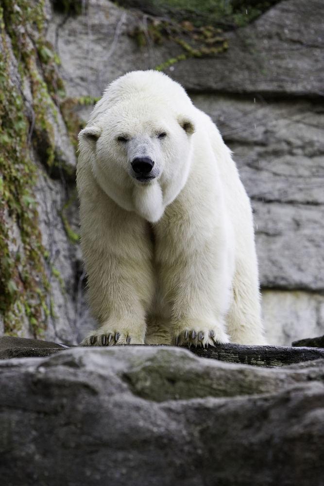 Erik der Eisbär