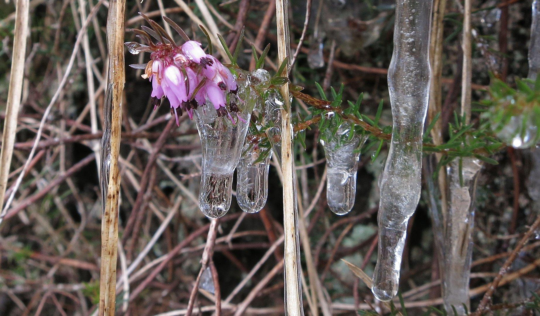 Erikablüten im Eis *2