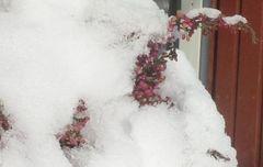 Erikaheide kämpft sich durch den Schnee