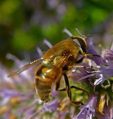 Eristalis tenax - Dronefly - Mistbiene - Blinde Bij
