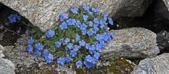 Eritrichium nanum- Himmelsherold und auch König der Alpenpflanzen genannt...