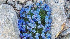Eritrichium nanum und der Himmelsherold trägt auch den Namen König der Alpenpflanzen