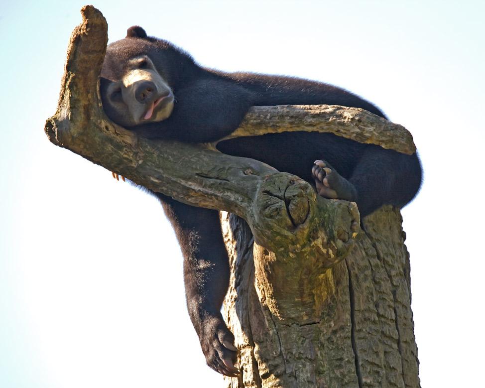 Ernst schläft auf seinem Baum - Malaienbär im Berliner Zoo