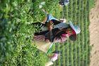 Ernte auf der Teeplantage