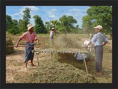 Ernte der Erdnüsse