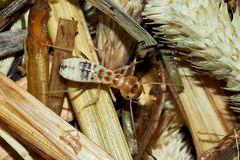 Erntetermite nach dem Häutungsprozess.* (3) - Grand Termite moissonneur.