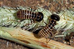 Erntetermiten (Hodotermes mossambicus) (1), etwa 7mm lang, Foto 1 - Grands Termites moissonneurs.