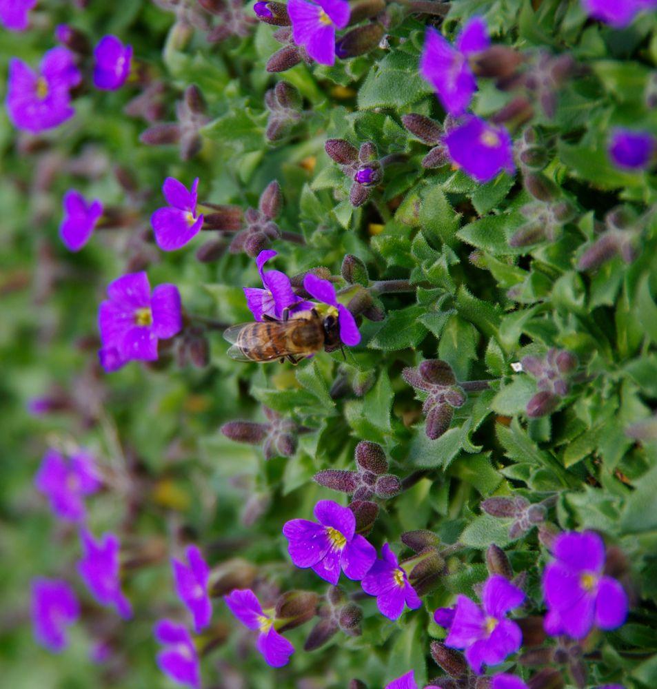 erste Bienen