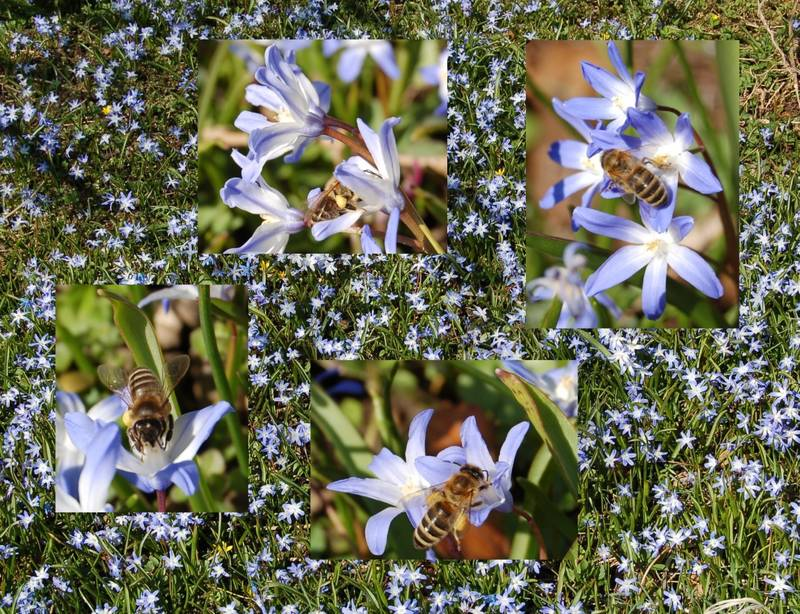 erste Bienen auf Frühlingswiese