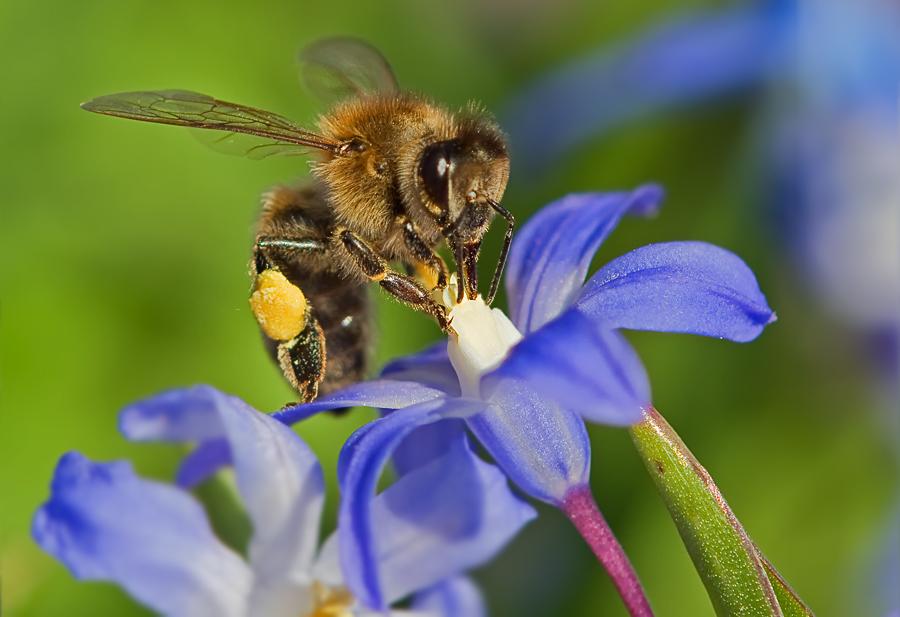 Erste Frühlings-Biene 2