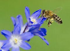 Erste Frühlings-Biene