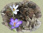 Erste Krokus-Blüten