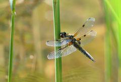 Erste Libelle