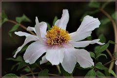 Erste Päonienblüte im Garten