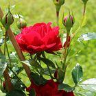 erste Rose