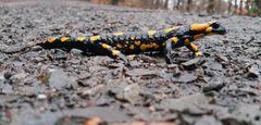Erste Salamander