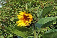 Erste Sonnenblume aus Vogelfutter ca 190 cm hoch