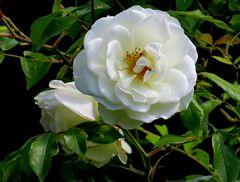erste Sonntag-Morgensonne für weiße Vorgartenrose