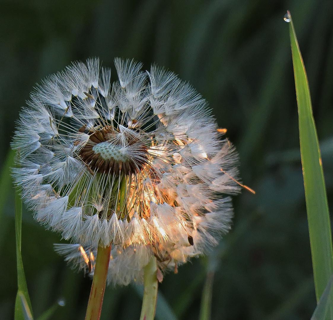 erste Sonntags Morgensonne für 2 Pusteblumen,