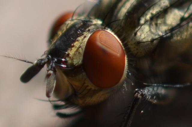 Erster Versuch mit geduldiger Fliege
