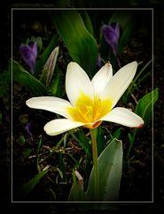 ErsteTulpe im  Garten 17.03. 19